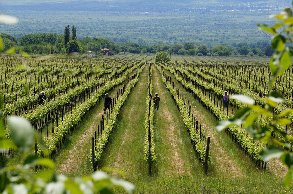 A to już Gruzja bardziej nizinna i jej bezkresne plantacje winogron.