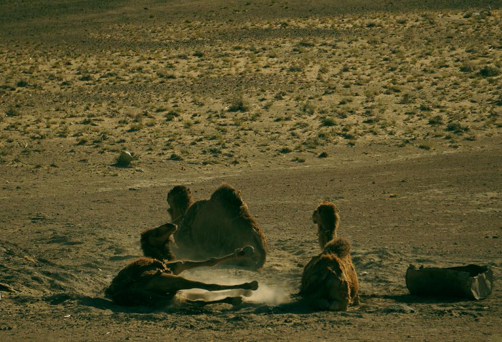 A na tych wielbłądach, za odpowiednią opłatą (nie dociekaliśmy, jaką), można przejechać się po pustyni