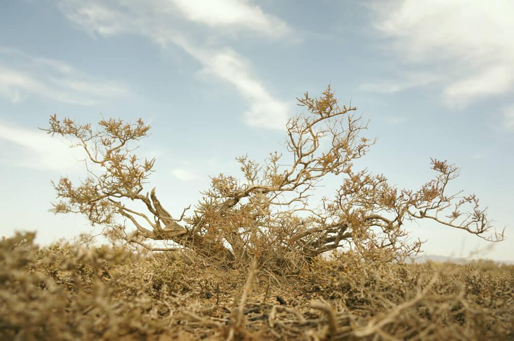 step-krzew