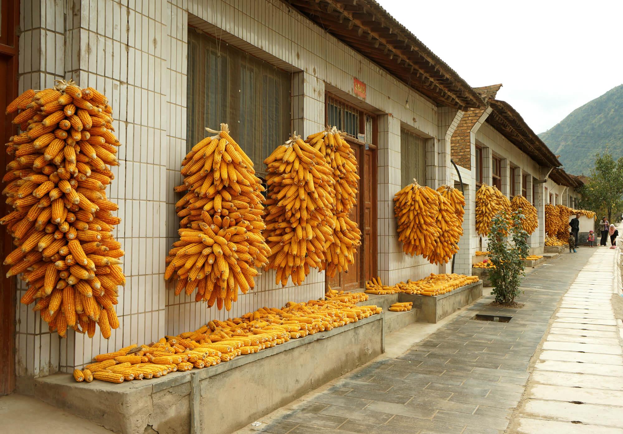 suszenie_kukurydzy