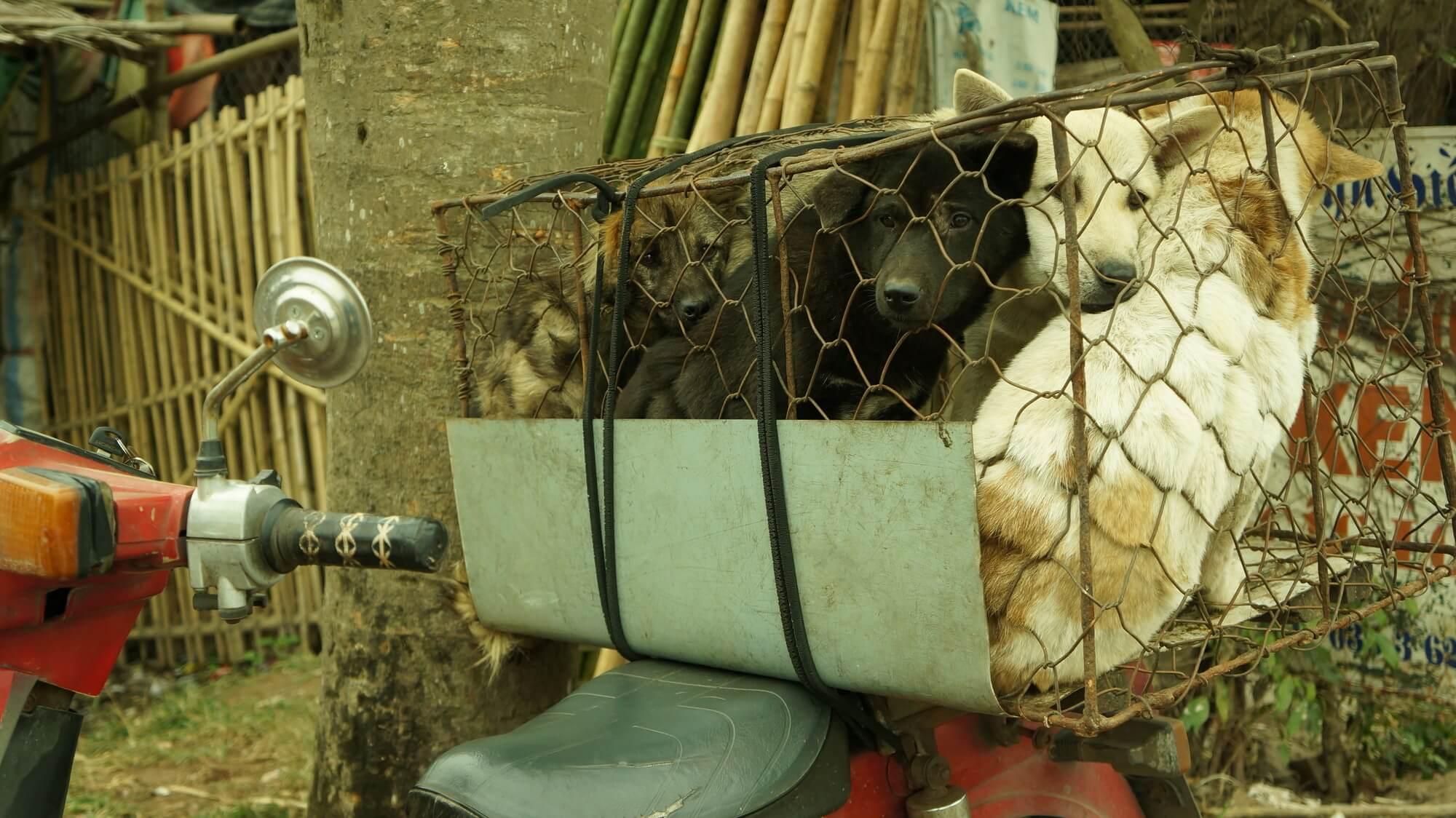 handlarz objeżdża wioski i zbiera psy, które następnie trafią na stoły