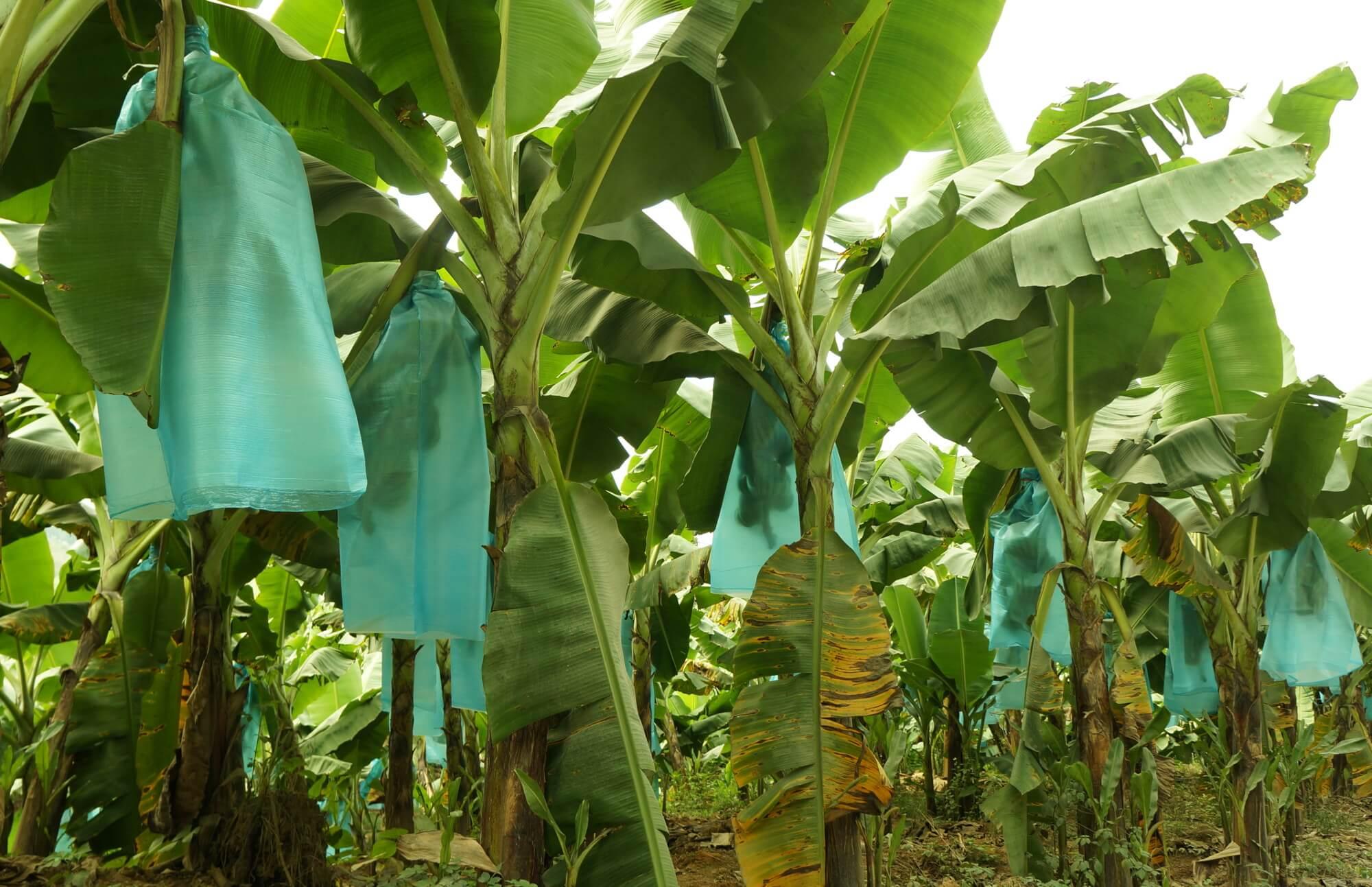 A na koniec - plantacja bananów, które rosną od razu w opakowaniach.