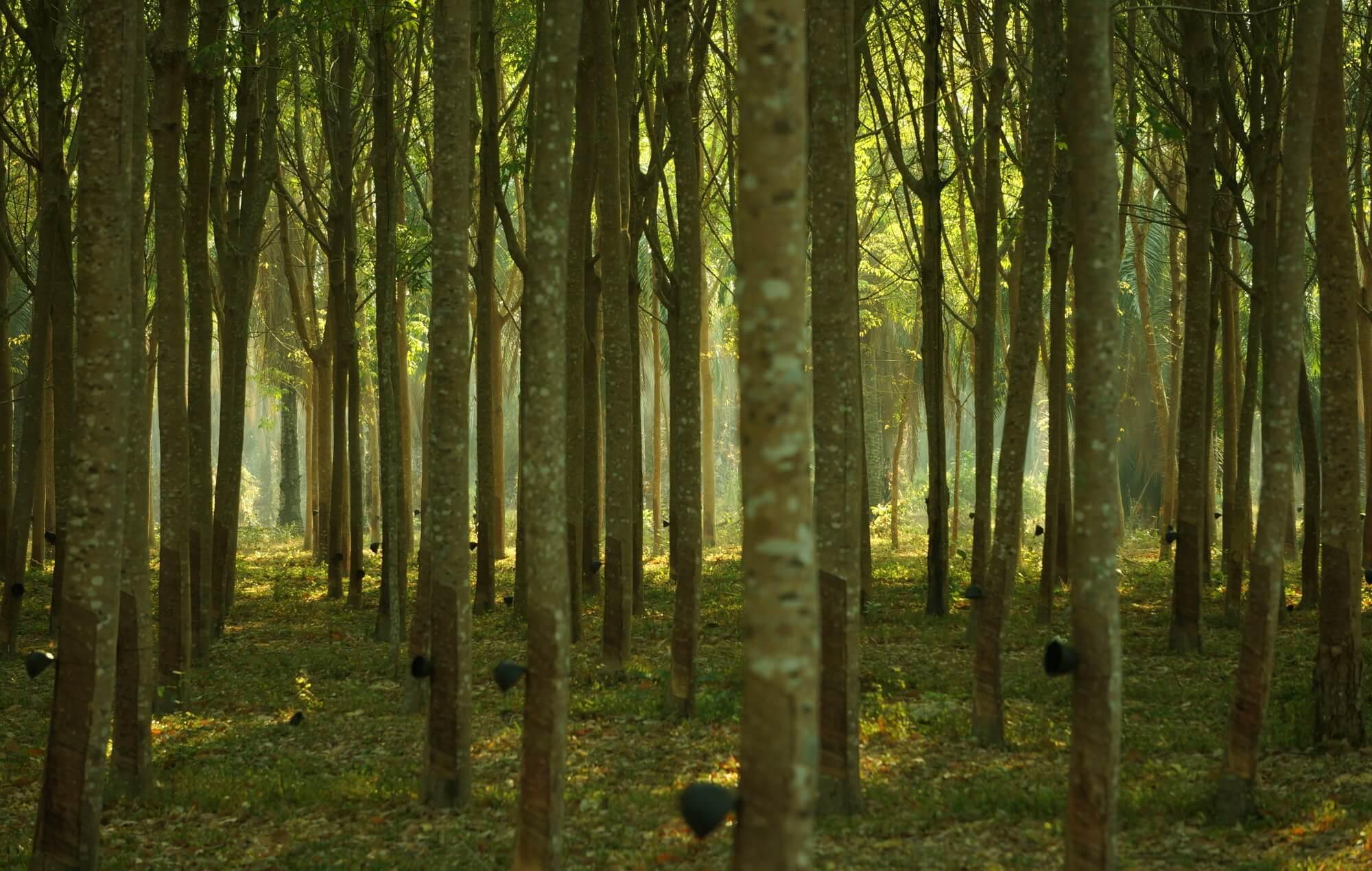 drzewka_kauczukowe