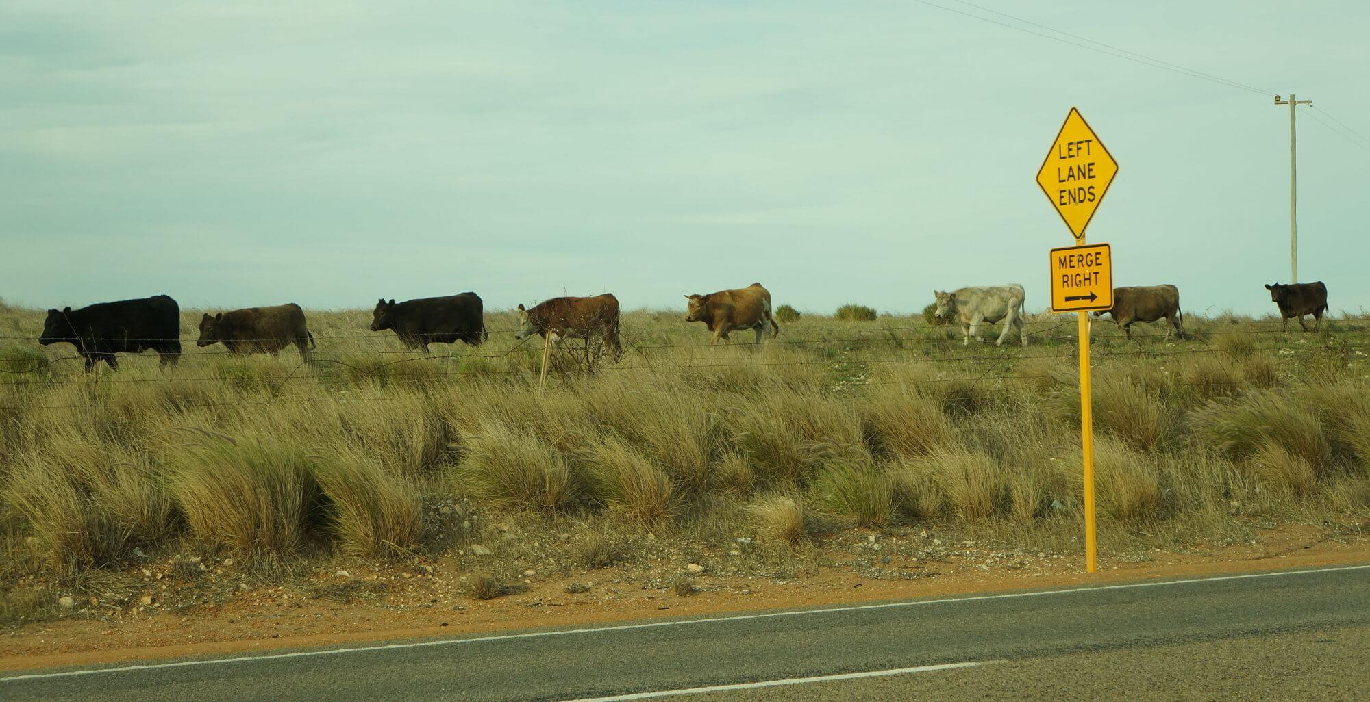 australia-outback-krowy