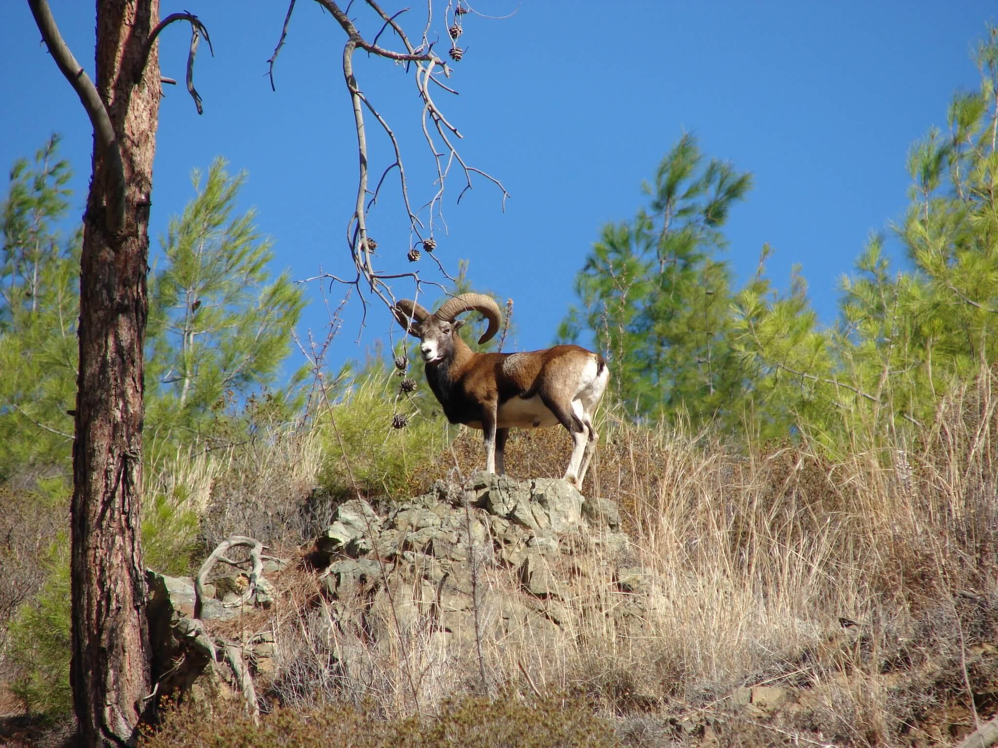 Cyprus_wild_mouflon_Agrino