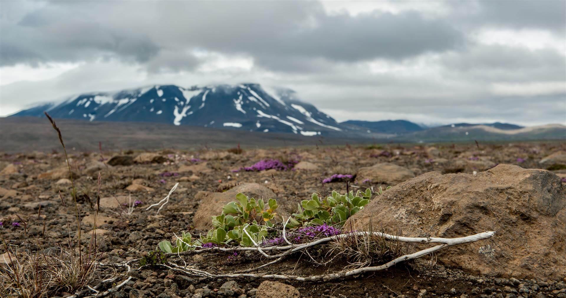 islandia-mordor-kwiatki