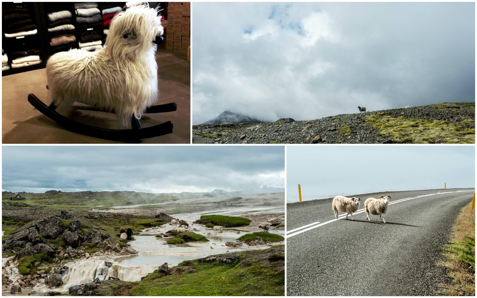 islandia-owce